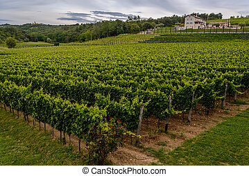 Beautiful green vineyard in Croatia (Istria)