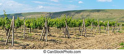 Beautiful green vineyards on fields in mountains of Crimea.