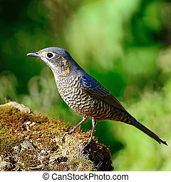 female Chestnut-bellied Rock-Thrush - Beautiful grey bird,...