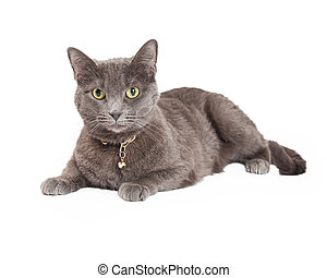 Beautiful Grey Domestic Shorthair Cat Laying - Beautiful ...