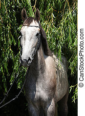 Beautiful grey horse standing in nature