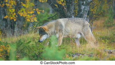 Beautiful grey wolf looking after food in the grass - Adult...