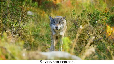 Beautiful grey wolf looking after food or other animals in the grass