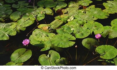 Beautiful group of lotus with vivid pink in swamp -...