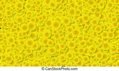 Beautiful Growing Flowers Yellow Dandelions Covering the Screen. Blooming Flowers Animation with Alpha Matte. Useful for Transitions. Spring Nature and New Life Concept. 4k Ultra HD 3840x2160