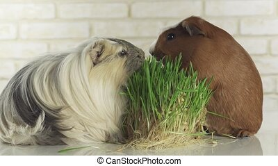 Guinea pigs breed Golden American Crested and Coronet cavy...