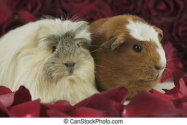 Guinea pigs breed Golden American Crested and Coronet cavy in the petals of red roses