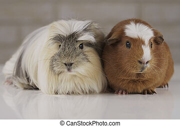 Guinea pigs breed Golden American Crested and Coronet cavy