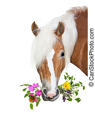 Beautiful Haflinger Horse with natural herbs in her mouth -...