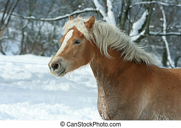 Beautiful haflinger with long mane running in the snow -...