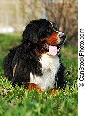 beautiful happy Bernese mountain dog