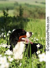 beautiful happy dog Bernese mountain dog