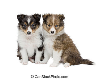 Beautiful happy sheltie puppy dog i - Couple beautiful ...