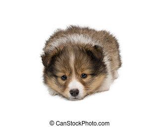 Beautiful happy sheltie puppy dog i