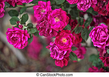 Beautiful Heirloom Roses