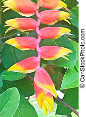Beautiful Heliconia flower blooming