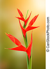 "Beautiful Heliconia H stricta Huber ""Fire Bird"" blooming on..."