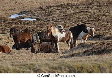 Beautiful Herd of Icelandic Horses Standing in a Field