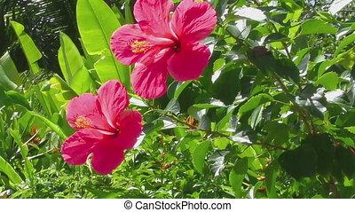 Beautiful hibiscus flower - Beautiful red hibiscus flower on...