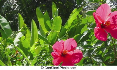 Beautiful hibiscus flower - Beautiful red hibiscus flower on...