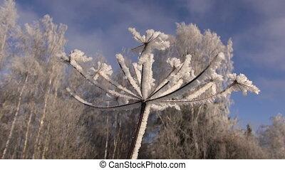 beautiful hoarfrost rime in winter