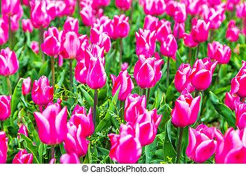 beautiful holland tulips in Keukenhof park