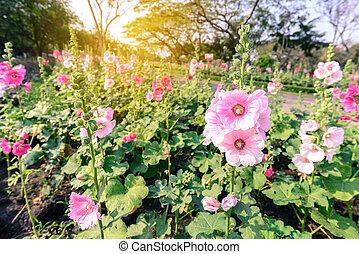 Beautiful hollyhock flowers with sunlight in garden.
