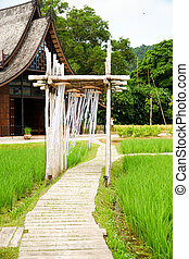 Beautiful Home view of rice paddy field, Green Rice grows in the field
