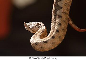 beautiful horned viper, adult female ( Vipera ammodytes )