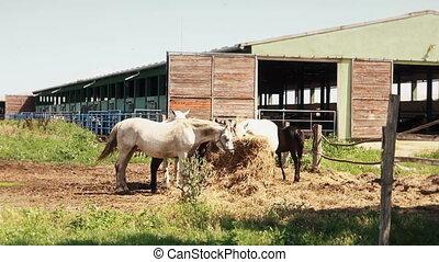 Beautiful Horses At The Farm Feeding at Pasture