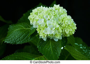 Beautiful hortensia flower
