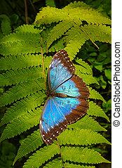 Beautiful huge blue butterfly is sitting at evergreen spiny fern aka Jurassic Era scenery