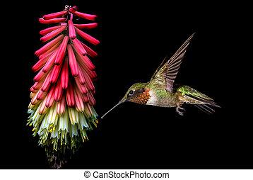 Beautiful hummingbird over black background