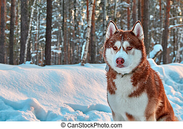 Beautiful husky dog in winter forest. Portrait handsome red siberian husky.