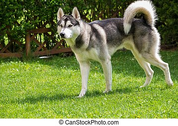 Beautiful husky on a green meadow