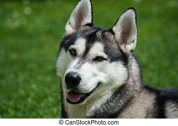 Beautiful husky portrait