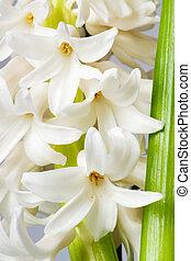 hyacinth - beautiful hyacinth, background texture, flowers
