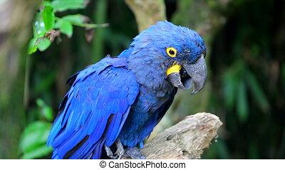 Beautiful Hyacinth Macaw - Colorful Hyacinth Macaw Perched...