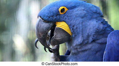 Beautiful Hyacinth Macaw Parrot - Closeup Portrait