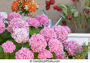 Beautiful Hydrangea Blossoms on Porch