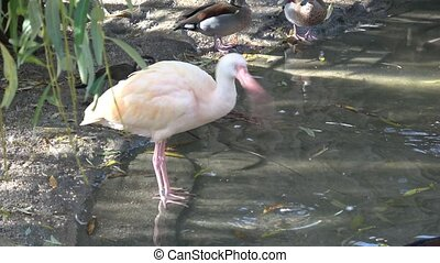 Beautiful ibis and duck in water. Waterfowl