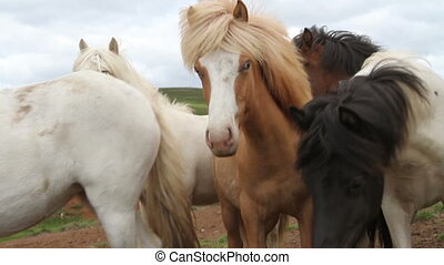 Iceland blue eyes horses - Beautiful Iceland blue eyes...