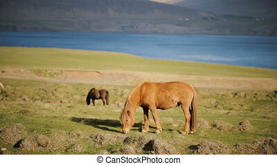 Beautiful Icelandic ginger horse grazing on the meadow. ...