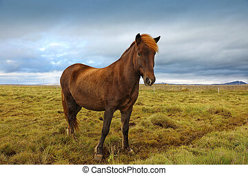 Beautiful Icelandic horse grazing in the field