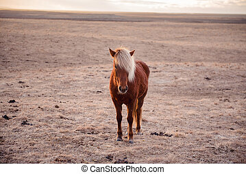 Beautiful icelandic horse in Iceland