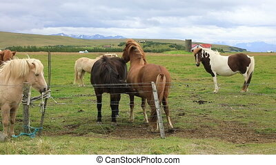 Beautiful Icelandic horses standing in the field - Beautiful...