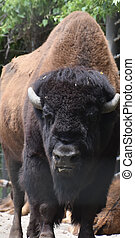 Beautiful Iconic American Buffalo With His Tongue Slightly Out