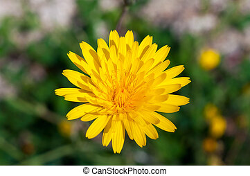 Beautiful image of a detailed yellow dandelion