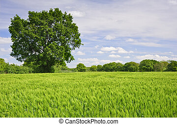 Beautiful image of agricultural field growing corn with single oak tree and vivid blue sky background