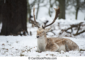 Image of fallow deer in forest landscape in Winter with snow on ground